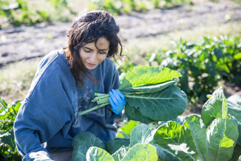 A student harvesting vegetables at the Sustainable Agriculture Farm on the Elgin campus.